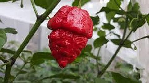 Lava Scorpion Pepper